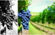 grapes_collage